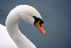 swan2 Arkivfoton