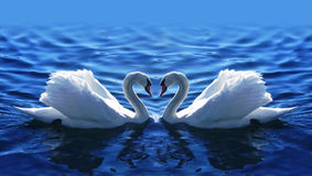 Swan2 Fotos de archivo libres de regalías