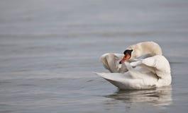 Swanbad Arkivbild