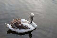 Swanen bevattnar in Arkivbilder
