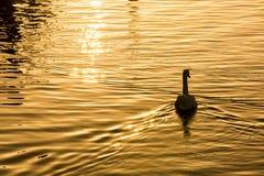 Swanen bevattnar på royaltyfri bild