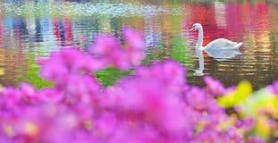 Swanen bevattnar på Fotografering för Bildbyråer