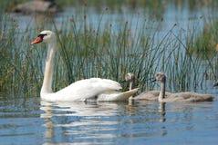 Swan med fågelungar Arkivbilder