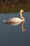 Swanen reflekterade i vatten arkivbild