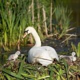Swanfamilj fotografering för bildbyråer