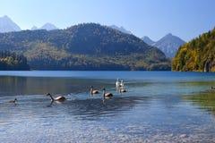 Swanfamilj på Alpsee Royaltyfri Foto