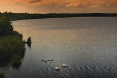 Swanfamilj på laken Royaltyfri Foto