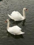 Swanful-Symmetrie Lizenzfreie Stockfotografie