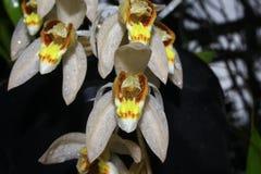Swaniana de Coelogyne Photo stock