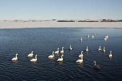 Swanlake Stock Photos