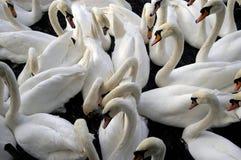 Swanlake Stock Image