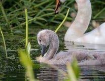 swanling的小天鹅 孩子哑父项天鹅 库存图片