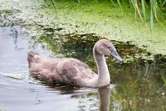 swanling的小天鹅 孩子哑父项天鹅 免版税库存照片