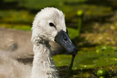 Swanling Stock Photography