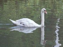 Swann Arkivfoto