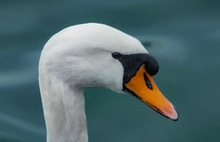 A Swann. A swan portrait close up Royalty Free Stock Image