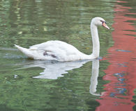 Swann. Swans are birds of the family Anatidae within the genus Cygnus. The swans' close relatives include the geese and ducks. Swans are grouped with the closely Stock Image