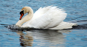 Swann swimming fast in a lake. A swan is swimming so fast that the water is pushing up in front of it Royalty Free Stock Photo