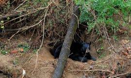 Swannanoa niedźwiedź Obraz Royalty Free