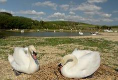 Swannery på Abbotsbury, Dorset Fotografering för Bildbyråer