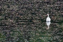 Swanreflexioner Arkivbild