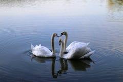 swans Immagini Stock Libere da Diritti