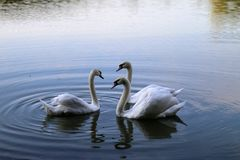 Free Swans Royalty Free Stock Photography - 101848557