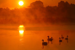Swans. At beautifull sunrise sky Royalty Free Stock Photos