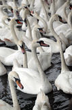 Swans. Picture of a white swans Stock Photography