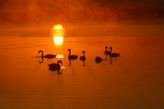 Swans. At beautifull sunrise sky royalty free stock photography