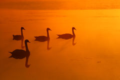 Swans. With beautifull reflection of the sunrise sky in the water stock photography