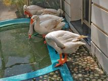 swans Stock Foto's