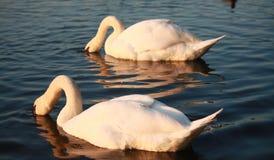 Swans  Stock Image
