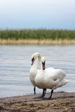 Swans. Pair of swans standing at the lake shore Stock Photos