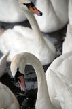 Swans. Picture of a white swans Stock Image