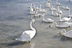 Swans. An group of beautiful swans swimming and eating in the sea Stock Images