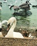 swans royalty-vrije stock foto's