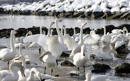 Swans. Many swans on a lake Stock Photo