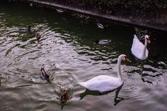 swans immagine stock libera da diritti