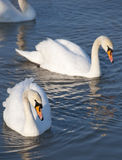 Swans. Beautiful swans swim in the lake stock photography