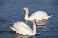Swans. Beautiful swans swim in the lake royalty free stock photo