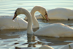Swans 13. A photo of a pair of swans royalty free stock image