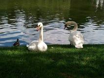swans royalty-vrije stock foto