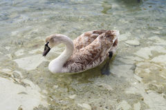 Swans. Stock Images