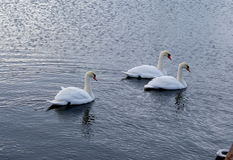 Swans Royalty Free Stock Image