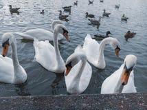 swans fotografie stock