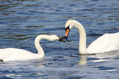 Swans. Two white swans fighting over food in the water Stock Photos