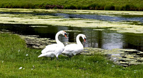 Swans Stock Photo