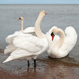 Swans Stock Images