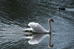 Swans. Swimming on a danish lake Royalty Free Stock Images